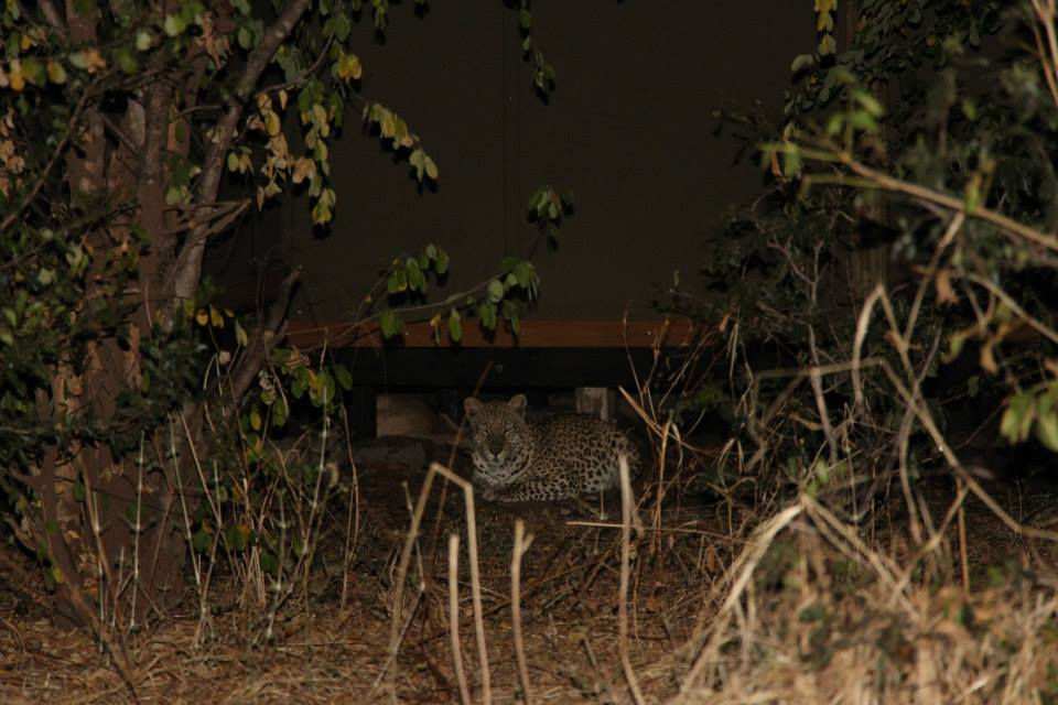 Wonderful Leopard Encounter